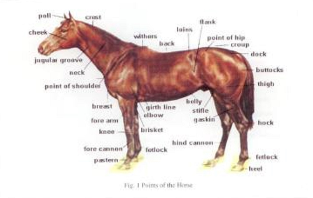 Horse Anatomy Gallery
